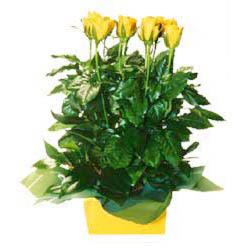 11 adet sari gül aranjmani  Aydın incir çiçek online çiçekçi , çiçek siparişi
