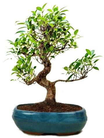 25 cm ile 30 cm aralığında Ficus S bonsai  Aydın incir çiçek çiçek gönderme sitemiz güvenlidir