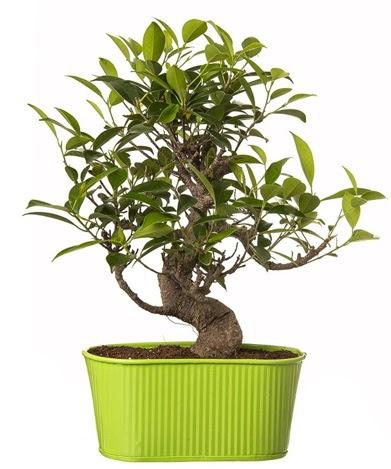 Ficus S gövdeli muhteşem bonsai  Aydın incir çiçek çiçek siparişi sitesi