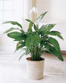 Aydın incir çiçek online çiçek gönderme sipariş  spatilyum ithal büyük boy