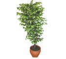 Ficus özel Starlight 1,75 cm   Aydın incir çiçek cicek , cicekci