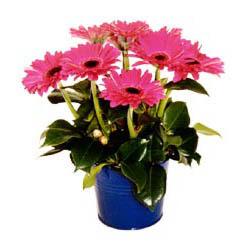 vazo içerisinde gerbera çiçekleri   Aydın incir çiçek online çiçek gönderme sipariş