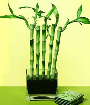 Aydın incir çiçek anneler günü çiçek yolla  Good Harmony Lucky Bamboo camda
