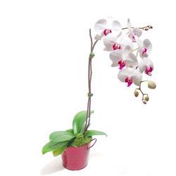 Aydın incir çiçek çiçek gönderme  Saksida orkide