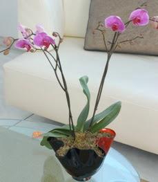 Aydın incir çiçek çiçekçi mağazası  tek dal ikili orkide saksi çiçegi
