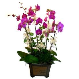 Aydın incir çiçek cicek , cicekci  4 adet orkide çiçegi