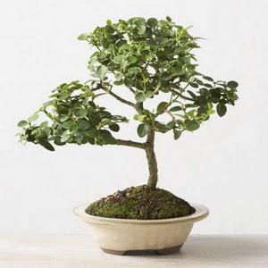 ithal bonsai saksi çiçegi  Aydın incir çiçek çiçek online çiçek siparişi