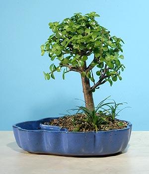 ithal bonsai saksi çiçegi  Aydın incir çiçek çiçekçiler