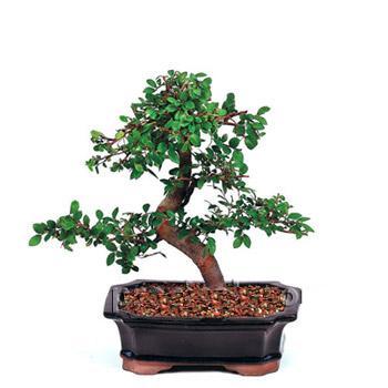 ithal bonsai saksi çiçegi  Aydın incir çiçek çiçek siparişi vermek