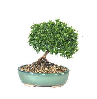 ithal bonsai saksi çiçegi  Aydın incir çiçek cicekciler , cicek siparisi