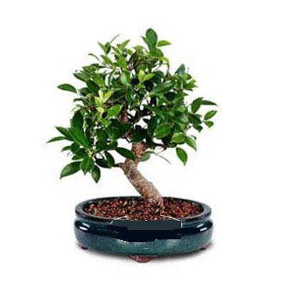 ithal bonsai saksi çiçegi  Aydın incir çiçek çiçek siparişi sitesi