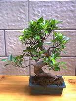 ithal bonsai saksi çiçegi  Aydın incir çiçek hediye sevgilime hediye çiçek