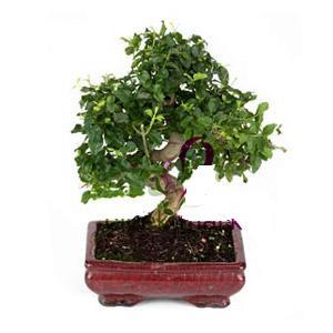 ithal bonsai saksi çiçegi  Aydın incir çiçek anneler günü çiçek yolla