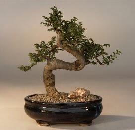 ithal bonsai saksi çiçegi  Aydın incir çiçek 14 şubat sevgililer günü çiçek