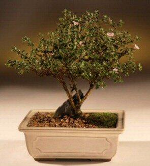 ithal bonsai saksi çiçegi  Aydın incir çiçek çiçek mağazası , çiçekçi adresleri