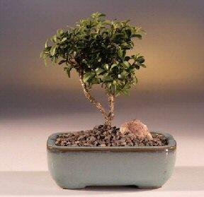 Aydın incir çiçek çiçek yolla  ithal bonsai saksi çiçegi  Aydın incir çiçek internetten çiçek satışı