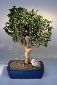 Aydın incir çiçek çiçek gönderme  ithal bonsai saksi çiçegi  Aydın incir çiçek çiçekçiler