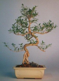 Aydın incir çiçek çiçek satışı  ithal bonsai saksi çiçegi  Aydın incir çiçek çiçek siparişi vermek