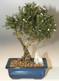 Aydın incir çiçek çiçek , çiçekçi , çiçekçilik  ithal bonsai saksi çiçegi  Aydın incir çiçek online çiçek gönderme sipariş