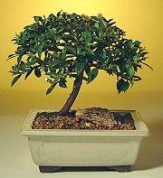 Aydın incir çiçek ucuz çiçek gönder  ithal bonsai saksi çiçegi  Aydın incir çiçek cicek , cicekci