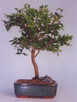 Aydın incir çiçek ucuz çiçek gönder  ithal bonsai saksi çiçegi  Aydın incir çiçek anneler günü çiçek yolla