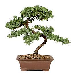 ithal bonsai saksi çiçegi  Aydın incir çiçek çiçek gönderme sitemiz güvenlidir