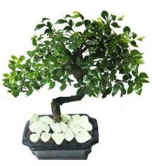 9 yasinda Bonsai agaci  Aydın incir çiçek yurtiçi ve yurtdışı çiçek siparişi