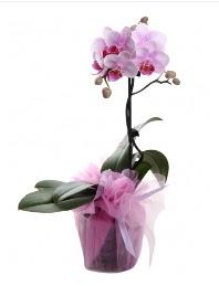 1 dal pembe orkide saksı çiçeği  Aydın incir çiçek kaliteli taze ve ucuz çiçekler