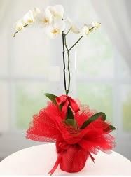 1 dal beyaz orkide saksı çiçeği  Aydın incir çiçek yurtiçi ve yurtdışı çiçek siparişi
