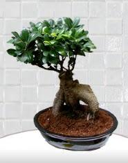 saksı çiçeği japon ağacı bonsai  Aydın incir çiçek kaliteli taze ve ucuz çiçekler