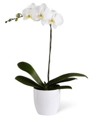 1 dallı beyaz orkide  Aydın incir çiçek 14 şubat sevgililer günü çiçek