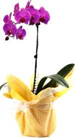 Aydın incir çiçek çiçek siparişi sitesi  Tek dal mor orkide saksı çiçeği