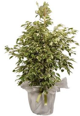 Orta boy alaca benjamin bitkisi  Aydın incir çiçek internetten çiçek satışı