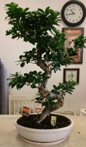 100 cm yüksekliğinde dev bonsai japon ağacı  Aydın incir çiçek incir çiçek İnternetten çiçek siparişi