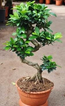 Orta boy bonsai saksı bitkisi  Aydın incir çiçek internetten çiçek siparişi