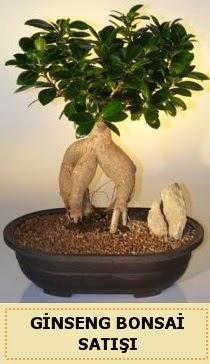 İthal Ginseng bonsai satışı japon ağacı  Aydın incir çiçek çiçek siparişi sitesi