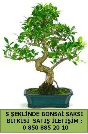 İthal S şeklinde dal eğriliği bonsai satışı  Aydın incir çiçek çiçek gönderme