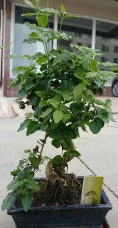 Bonsai japon ağacı saksı bitkisi  Aydın incir çiçek çiçek siparişi vermek