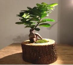 Doğal kütükte Bonsai japon ağacı satışı  Aydın incir çiçek internetten çiçek satışı
