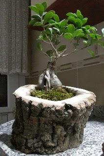 Ahşap kütük içerisinde ginseng bonsai  Aydın incir çiçek internetten çiçek siparişi
