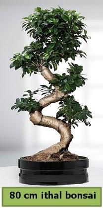 80 cm özel saksıda bonsai bitkisi  Aydın incir çiçek çiçekçi telefonları
