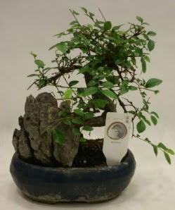 İthal 1.ci kalite bonsai japon ağacı  Aydın incir çiçek çiçek satışı