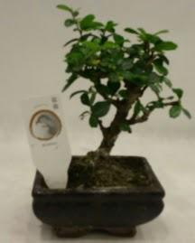 Küçük minyatür bonsai japon ağacı  Aydın incir çiçek çiçek gönderme