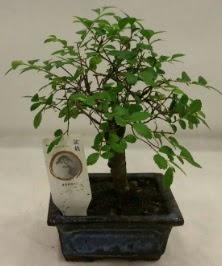 Minyatür ithal japon ağacı bonsai bitkisi  Aydın incir çiçek çiçek satışı