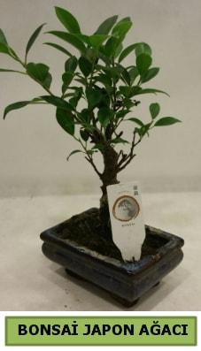 Bonsai japon ağacı saksı bitkisi  Aydın incir çiçek çiçek servisi , çiçekçi adresleri