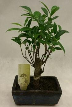 Japon ağacı bonsai bitkisi satışı  Aydın incir çiçek çiçekçi telefonları