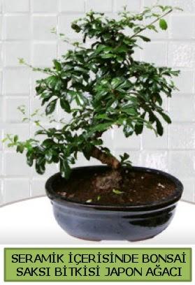 Seramik vazoda bonsai japon ağacı bitkisi  Aydın incir çiçek çiçek siparişi sitesi