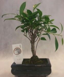 Bonsai japon ağacı bitkisi satışı  Aydın incir çiçek çiçek gönderme sitemiz güvenlidir