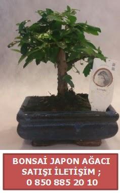 Japon ağacı minyaür bonsai satışı  Aydın incir çiçek çiçek satışı
