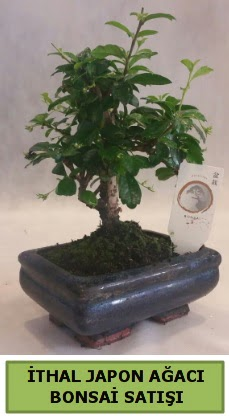 İthal japon ağacı bonsai bitkisi satışı  Aydın incir çiçek çiçekçi telefonları
